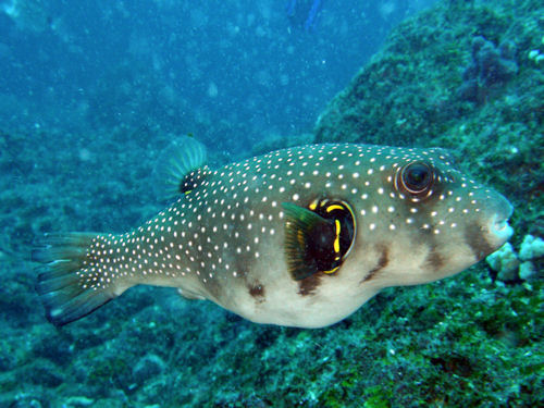BalckspotPufferfish01.JPG