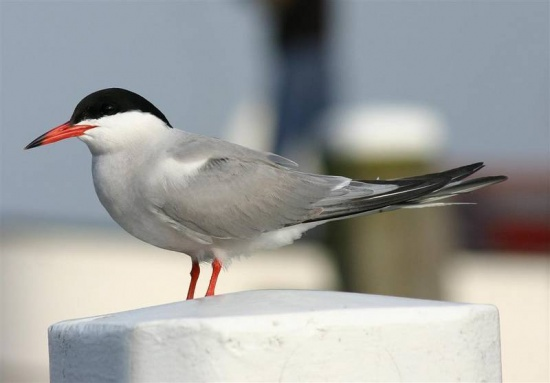 Common_Tern_2.jpg